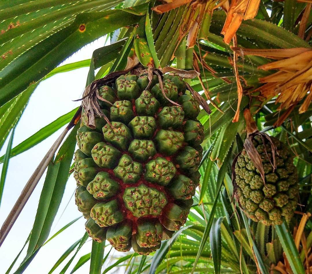 препятствий ананас дерево фото главным